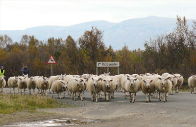 Barents_Rescue_2013_sheep.jpg